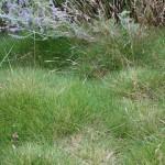 Björngräs - Festuca gautieri