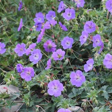 Geranium ROZANNE 'Gerwat' Trädgårdsnäva