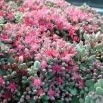 Liten kärleksört - Hylotelephium cauticola