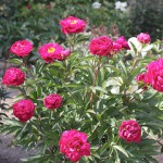 Luktpion - Paeonia lactiflora 'Karl Rosenfield'