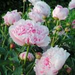 Luktpion - Paeonia lactiflora 'Sarah Bernardt'