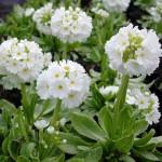 Bollviva - Primula denticulata 'Alba'