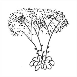 växtsätt - skybildande