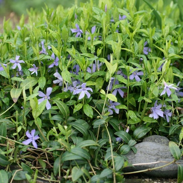 Vinca minor Vintergröna