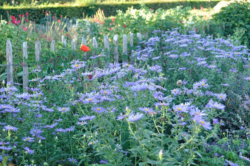 Slottsträdgården har något fint att visa alla tider på året. Om hösten blommor till exempel många astrar.