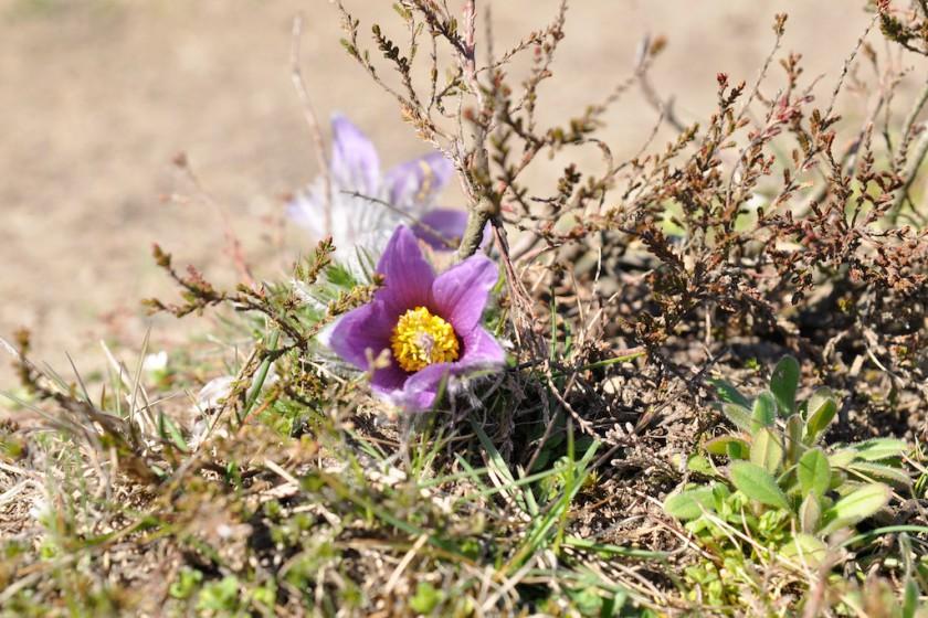 Pulsatilla vulgaris nytt växtporträtt