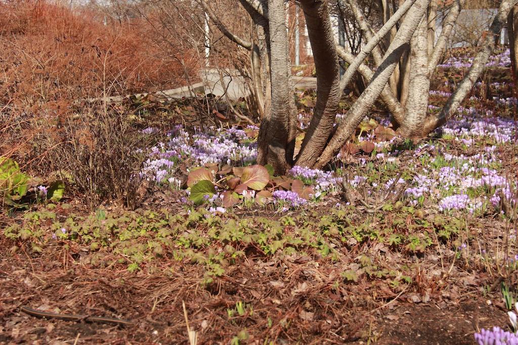 Bergenia och Geranium visar framfötterna men just nu är det krokus som lyser mest.