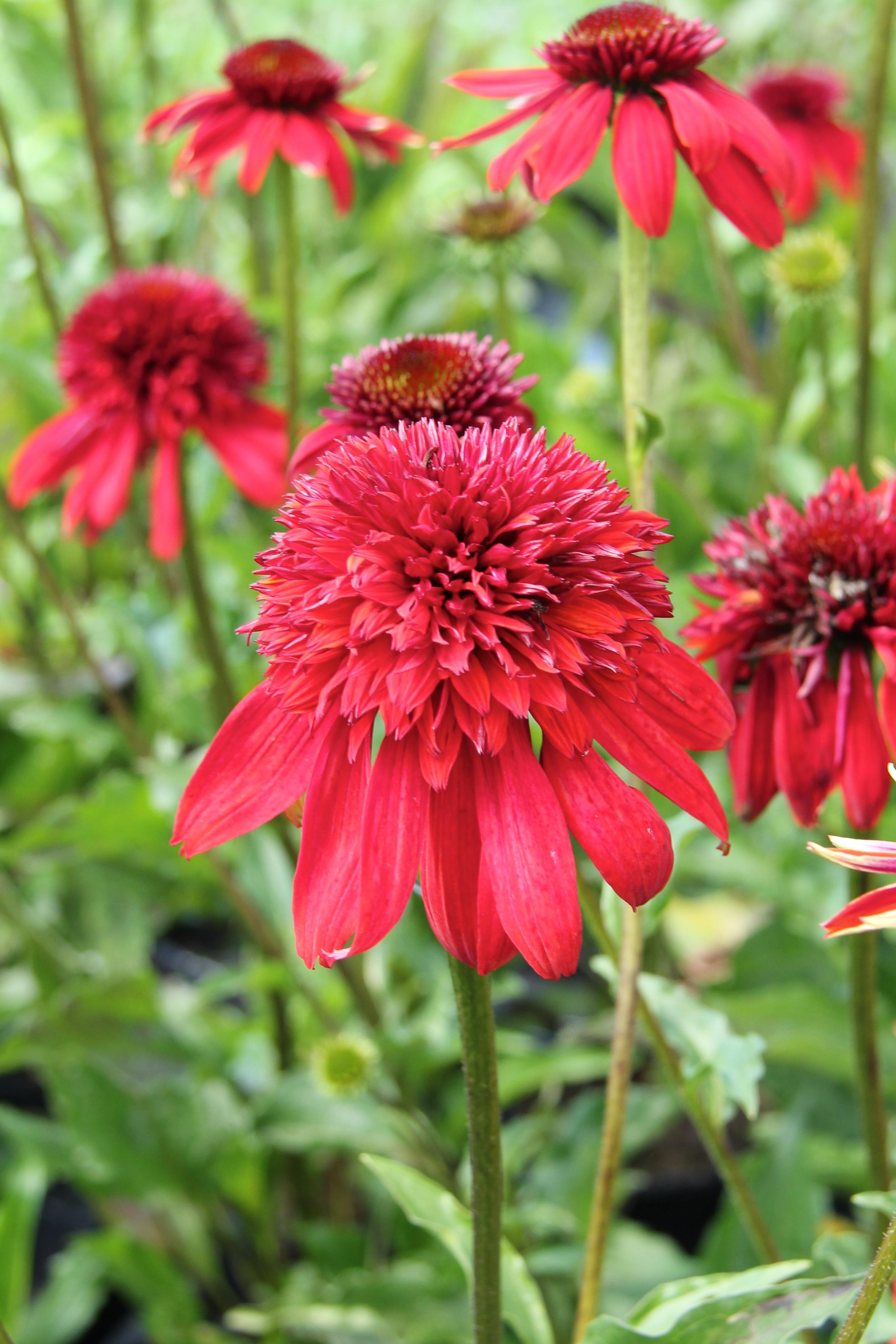 röda blommor perenner