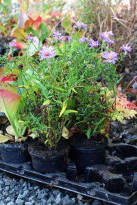 Planera höstplantering av perenner