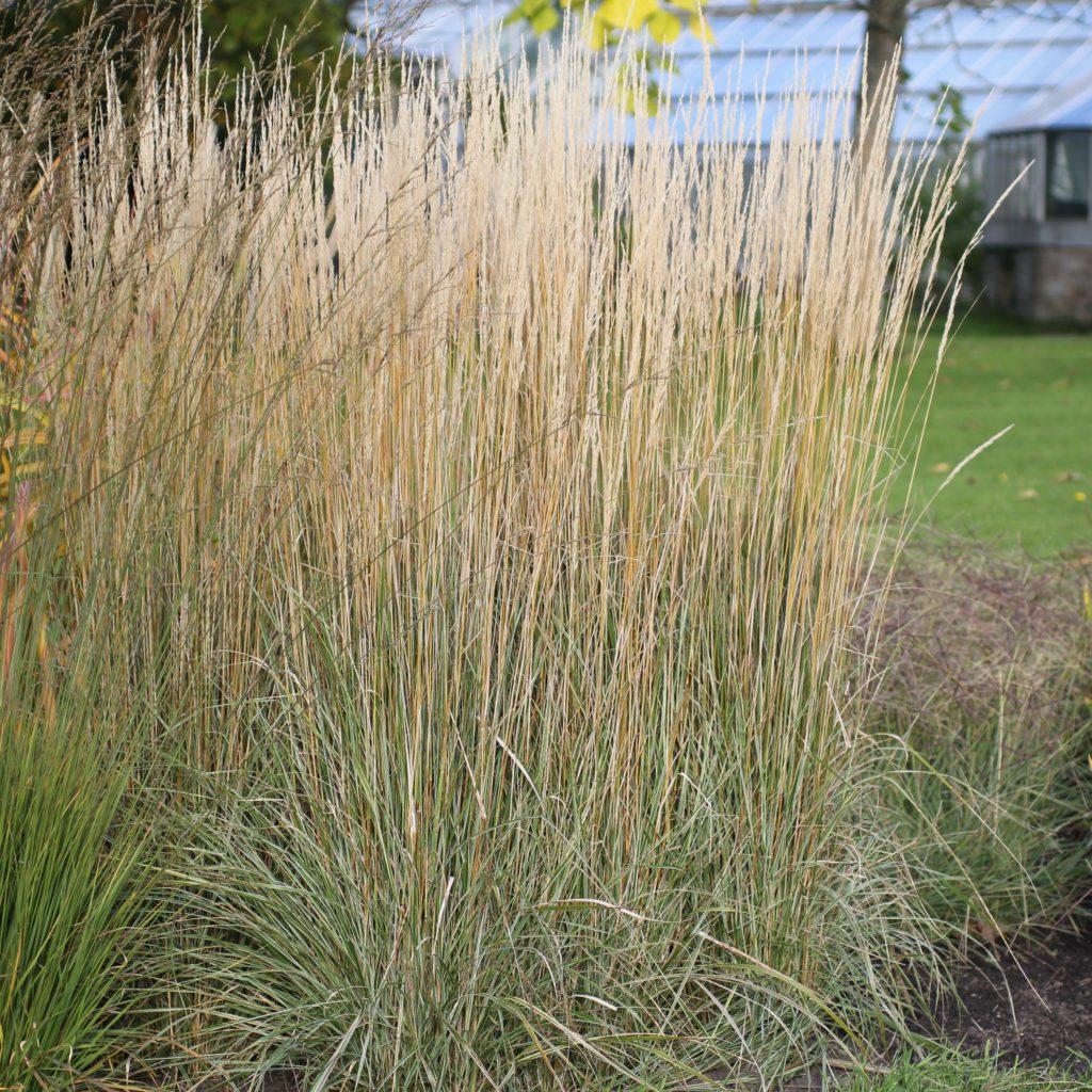 calamagrostis-acutifl-overdam
