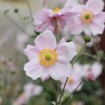 Höstanemon, Anemone hybrida 'Königin Charlotte'