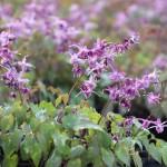 Japansk sockblomma, Epimedium grandiflorum 'Lilafee'