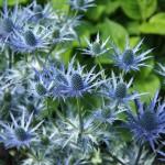 Trädgårdsmartorn, Eryngium 'Big Blue'