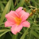 Daglilja, Hemerocallis 'Pink Damask'