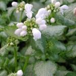 Rosenplister, Lamium maculatum 'White Nancy'