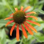 Rudbeckia, Echinacea 'Joy'