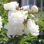 Luktpion, Paeonia lactiflora 'Shirley Temple'