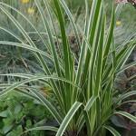 Japansk starr - Carex morrowii 'Ice Dance'