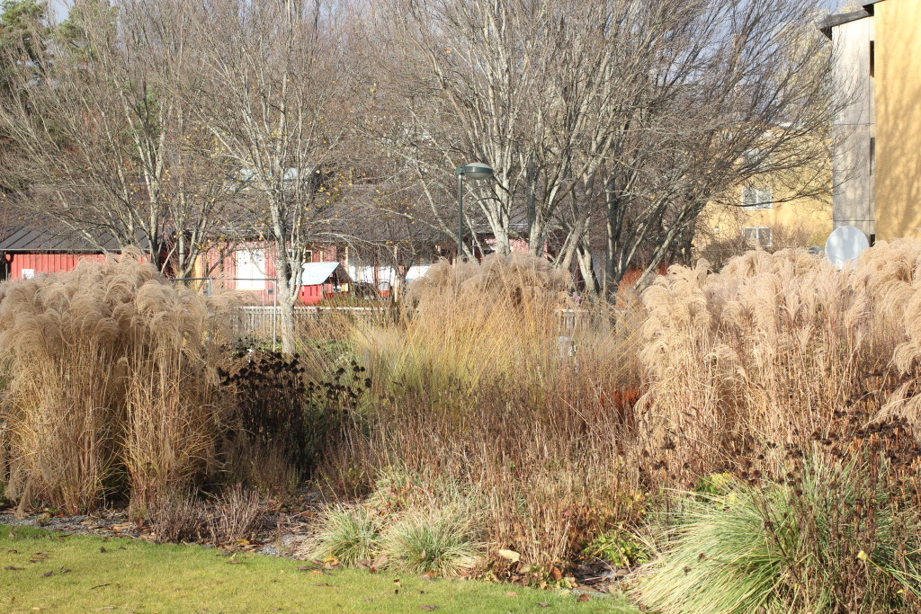 Skärholmens perennpark är sevärd hela året om! De höga gräsen som står kvar vintertid ger struktur och karaktär tillsammans med andra perenners dekorativa fröställningar.