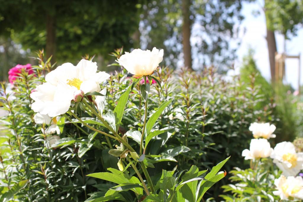 Paeonia lactiflora White Wings. luktpion, pion