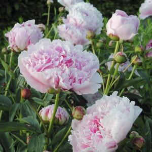 Paeonia lactiflora 'Sarah Bernardt'