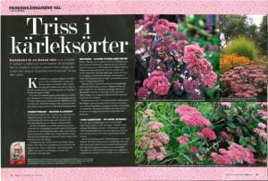 Hylotelephium Matrona, Herbstfreude och Jose Aubergine, kärleksört