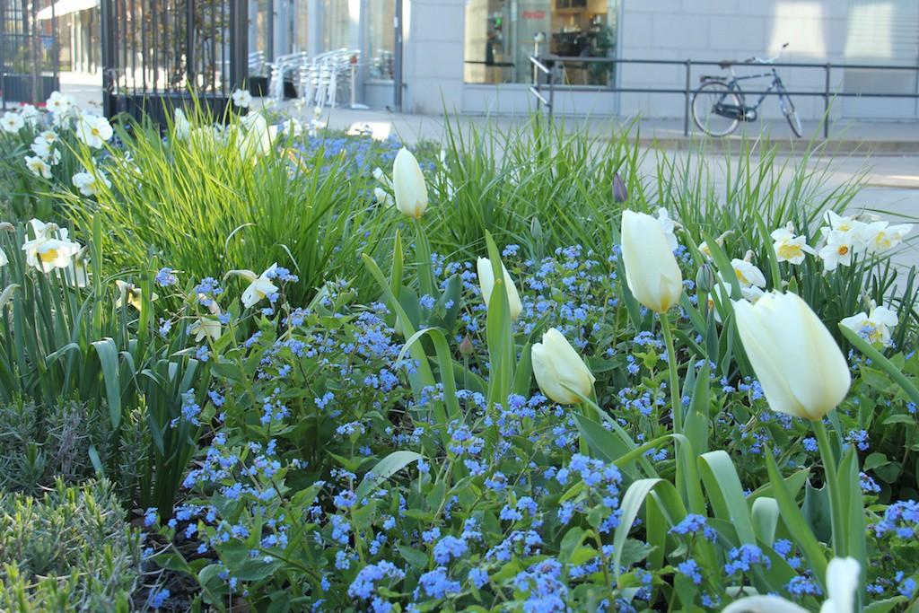 Blommande lökar i perennrabatten