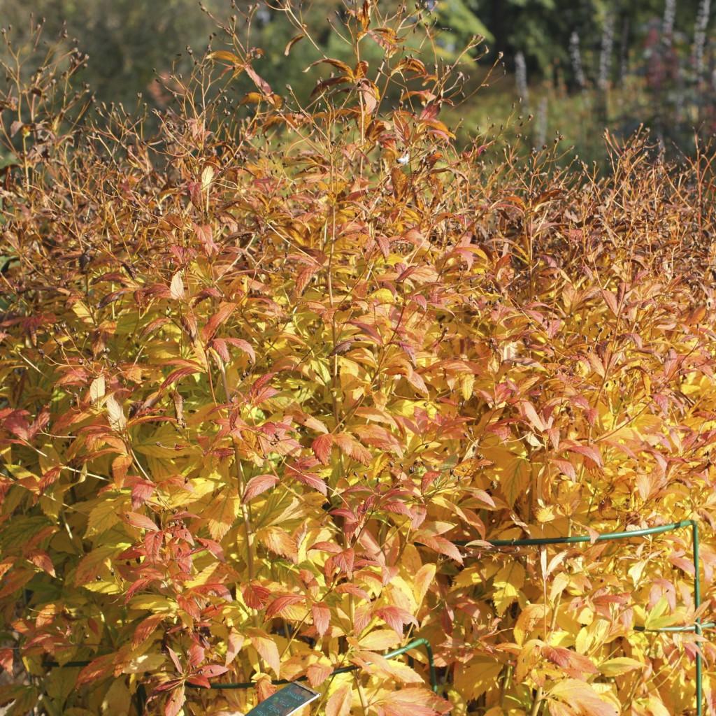 Gillenia har ett stort värde på hösten då den bjuder på fantastiska färger i gulröda nyanser och röda bär.