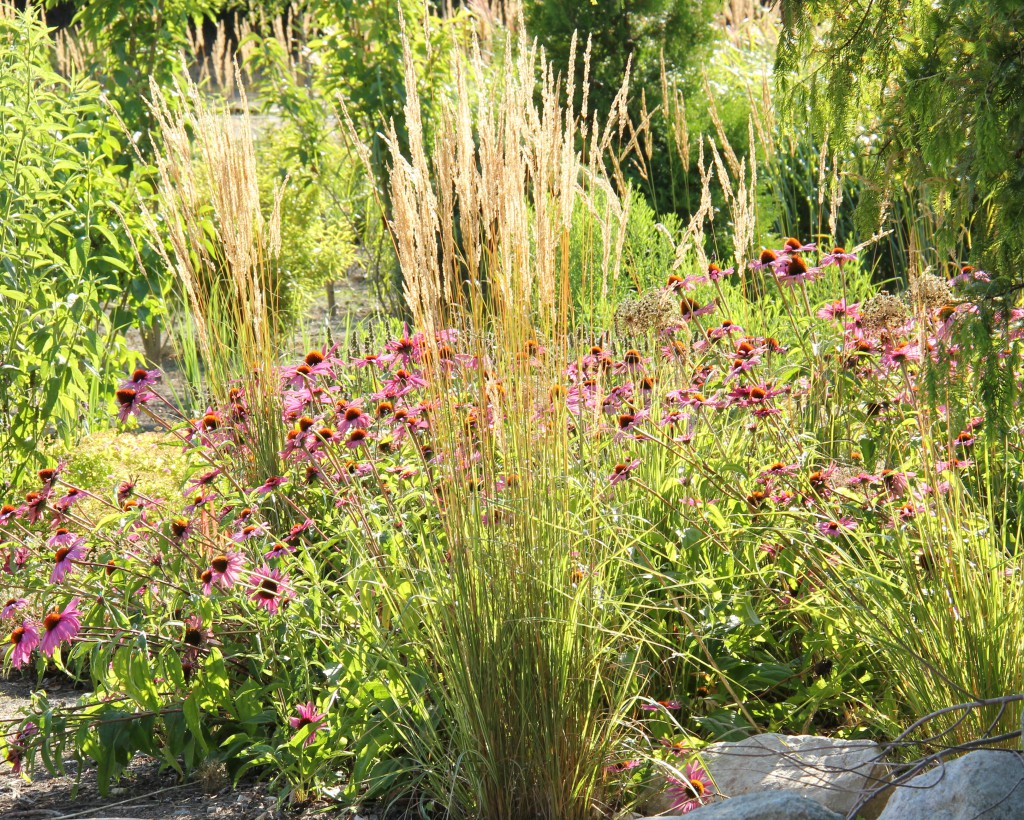På Overdams Plantskole i Danmark kombineras Calamagrostis acutiflora 'Overdam' med Echinacea 'Magnus'.