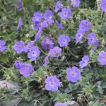 Trädgårdsnäva - Geranium ROZANNE 'Gerwat'