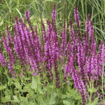 Stäppsalvia - Salvia nemorosa 'Pink Friesland'
