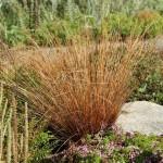 Kopparstarr, Carex buchananii