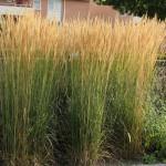 Tuvrör, Calamagrostis acutifl. 'Karl Foerster'
