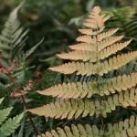 Bronsbräken, Dryopteris erythrosora