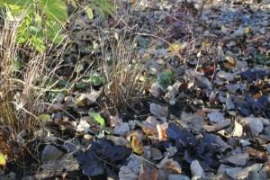Inlägg - brunt - Carex buchananii