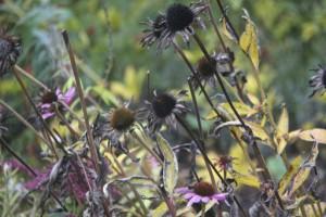 Inlägg - brunt - Echinacea