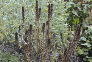 Inlägg - brunt - Liatris spicata