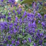 Stormhatt - Aconitum henryi 'Spark's Variety'