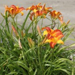 Daglilja - Hemerocallis 'Frans Hals'