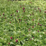 Blodtopp - Sanguisorba officinalis 'Tanna'