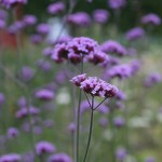 Jätteverbena - Verbena bonariensis