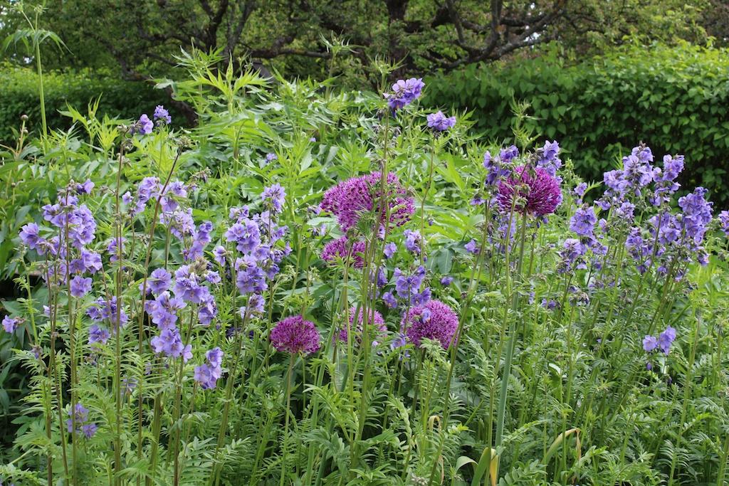 lila blommor perenner