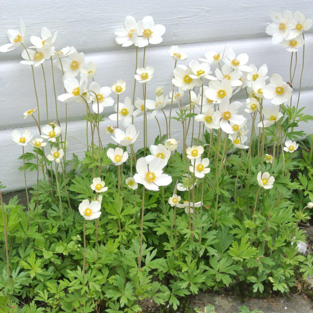 anemone-sylvestris